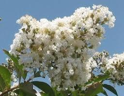Natchez White Crape Myrtle Aprox  2-3 Ft Click Picture for More pricing and Size Options