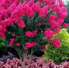 Rhapsody in Pink Crape Myrtle Aprox. 2-3 Ft Click Picture for More pricing and Size Options