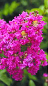 Tonto fuschia Crape Myrtle Aprox. 2-3 Ft Click Picture for More pricing and Size Options
