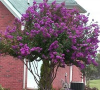 Catawba purple Crape Myrtle Aprox. 2-3 ft Click Picture for More pricing and Size Options