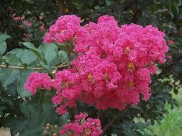 Tuscarora dark pink Crape Myrtle Aprox. 2-3 Ft Click Picture for More pricing and Size Options