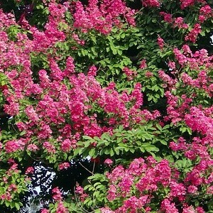 Pink Velour Crape Myrtle Aprox. 2-3 Ft Click Picture for More pricing and Size Options