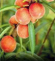 Belle of Georgia Peach 4 Ft  will make fruit this spring! WOW! Click Picture for More pricing and Size Options