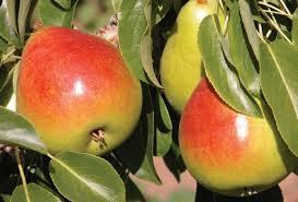 Hood Pear 4 Ft  will make fruit this spring! WOW! Click Picture for More pricing and Size Options