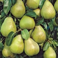 Keiffer Pear 4 Ft will make fruit this spring! WOW! Click Picture for More pricing and Size Options