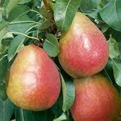 Moonglow Pear 4 Ft will make fruit this spring! WOW! Click Picture for More pricing and Size Options