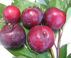 Bruce Plum 4 Ft  will make fruit this spring! WOW! Click Picture for More pricing and Size Options