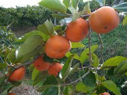 Jiro Japanese Persimmon Click Picture for More pricing and Size Options