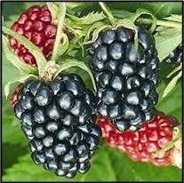 Arapaho Blackberry will make fruit this spring! WOW Click Picture for More pricing and Size Options