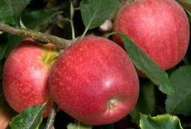 Gala Apple 4 Ft will make fruit this spring! WOW! Click Picture for More pricing and Size Options
