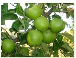 Granny Smith Apple Tree 4 Ft will make fruit this spring! WOW! Click Picture for More pricing and Size Options
