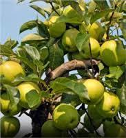 Yellow Delicious Apple 4 Ft  will make fruit this spring! WOW! Click Picture for More pricing and Size Options
