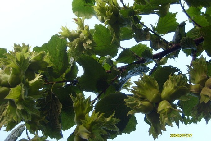 Hazelnut Tree 3 ft tall Click Picture for More pricing and Size Options