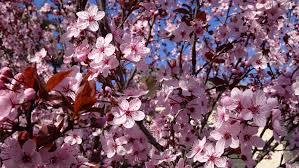 Purple Leaf Plum tree 4 Ft  will make blooms this spring! WOW!