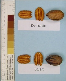Desirable Pecan 2-3 Ft Tall Click Picture for More pricing and Size Options
