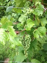Niagra Grapes 3 ft tall 2 gallon will make fruit this spring! WOW Click Picture for More pricing and Size Options