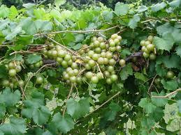 Fry Muscadine 3 ft tall 2 gallon will make fruit this spring! WOW Click Picture for More pricing and Size Options