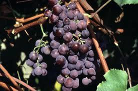 Catawaba Grapes 3 ft tall 2 gallon will make fruit this spring! WOW Click Picture for More pricing and Size Options