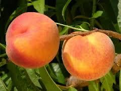 Loring Peach 4 Ft  will make fruit this spring! WOW! Click Picture for More pricing and Size Options