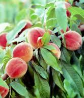 Red Skin Peach 4 Ft  will make fruit this spring! WOW! Click Picture for More pricing and Size Options