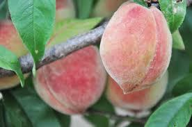 Indian Cling Peach 4 Ft will make fruit this spring! WOW! Click Picture for More pricing and Size Options