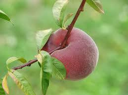 Rio-Osa-Gem Peach 4 Ft will make fruit this spring! WOW! Click Picture for More pricing and Size Options