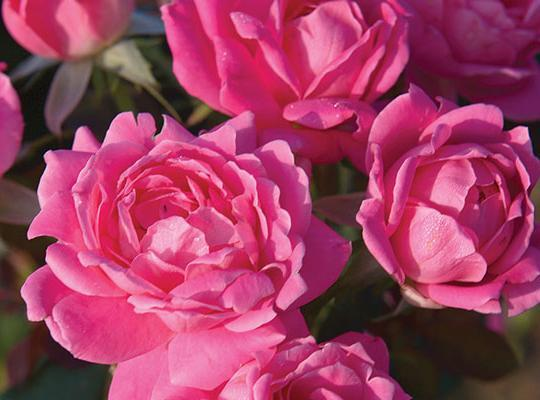 Pink Double Knockout Rose 2 gallon