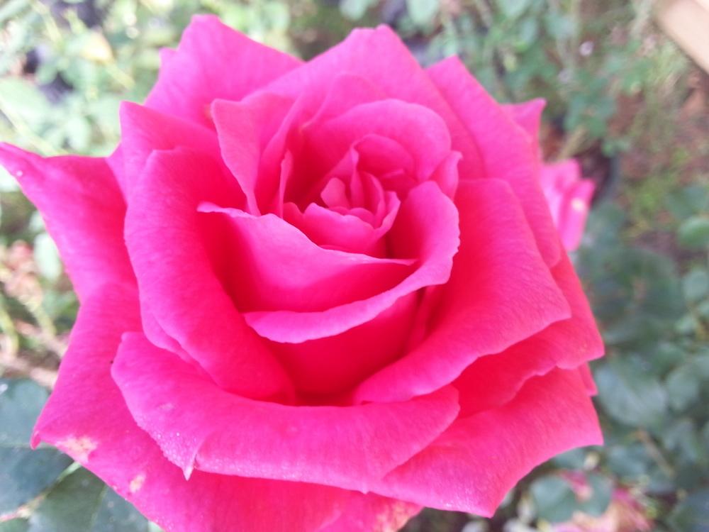 Pink Peace Rose 3 gallon