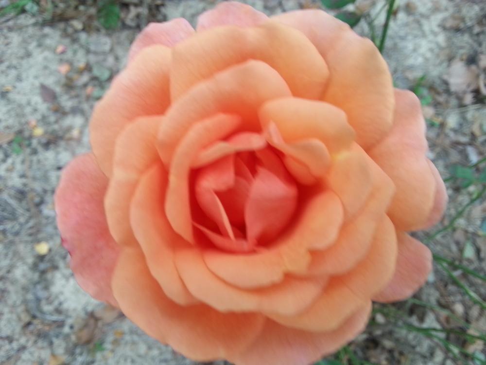 Arizona Rose 3 gallon