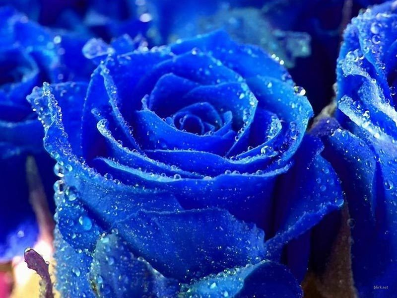 Blue Boy Rose 3 Gallon multi cane  (Very limited Quantity!!)