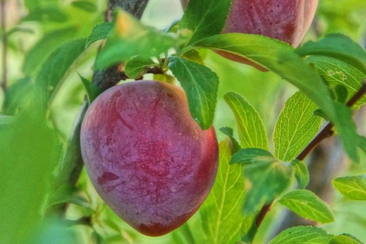 Santa Rosa Plum 4 Ft will make fruit this spring! WOW! Click Picture for More pricing and Size Options