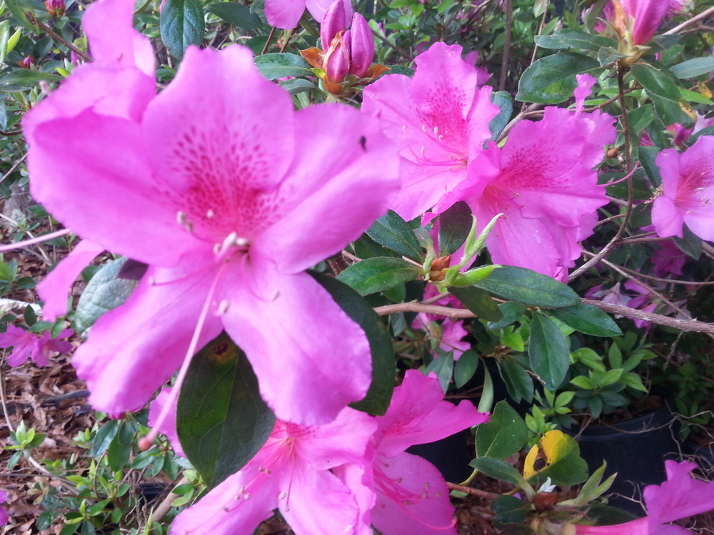 Formosa Azalea Click Picture for More pricing and Size Options