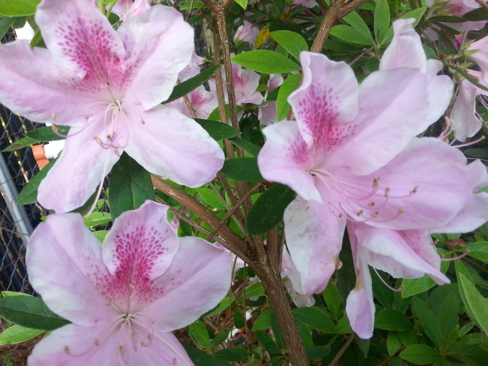 George Taber Azalea Click Picture for More pricing and Size Options
