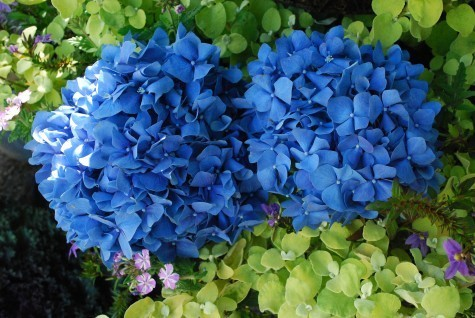 Blue Hydrangea Click Picture for More pricing and Size Options