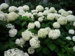 White Hydrangeas Click Picture for More pricing and Size Options
