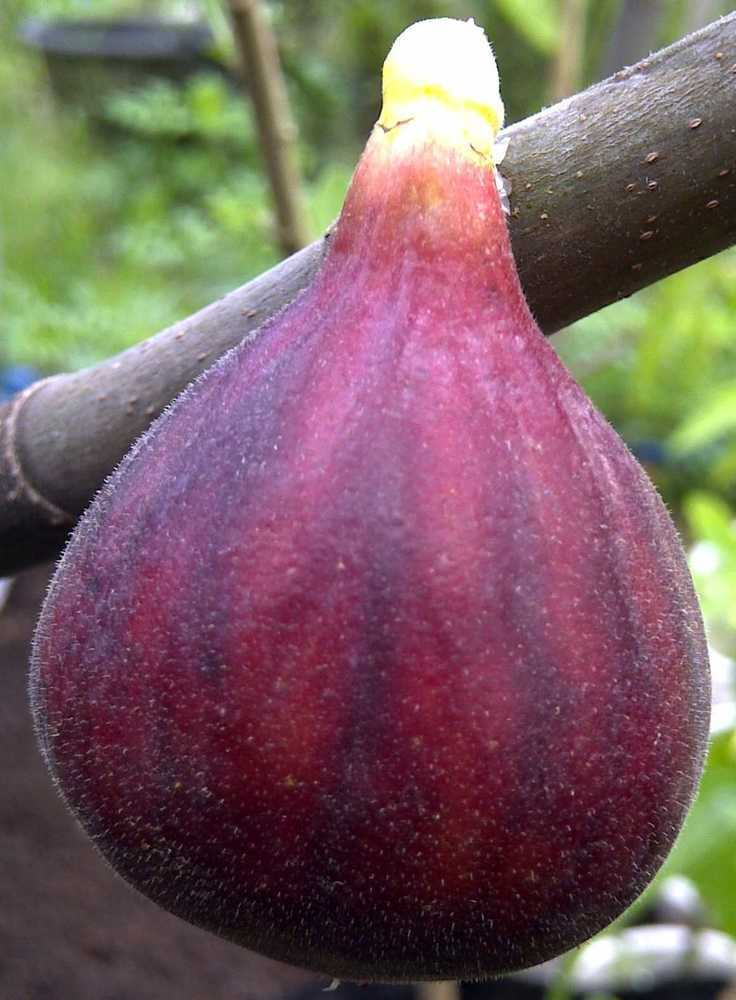 LSU Purple Fig 3 Ft Click Picture for More pricing and Size Options