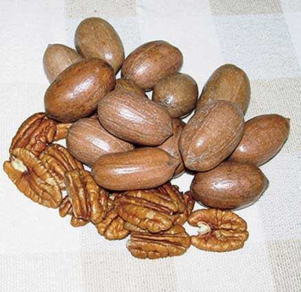 Kiowa Pecan 1.5 to 2 Ft Tall Click Picture for More pricing and Size Options