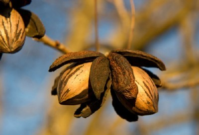 SPECIAL HEARTY PECAN 3 ft tall Click Picture for More pricing and Size Options