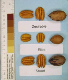 Elliott Pecan 2-3 Ft Tall Click Picture for More pricing and Size Options