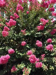 Hopi rose Crape Myrtle