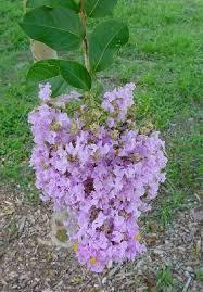 Muskogee lavender Crape Myrtle