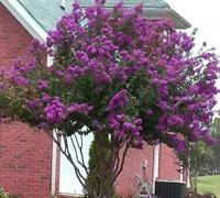 Catawba purple Crape Myrtle