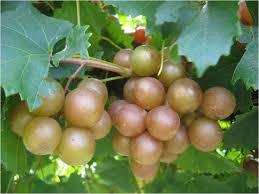 Carlos Bronze Muscadine 3 ft tall 2 gallon will make fruit this spring! WOW Click Picture for More pricing and Size Options
