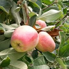 Anna Apple 4 Ft  will make fruit this spring! WOW! Click Picture for More pricing and Size Options