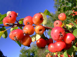 Crab  Apple 4 Ft  will make fruit this spring! WOW! Click Picture for More pricing and Size Options