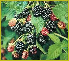 Apache Blackberry will make fruit this spring! WOW Click Picture for More pricing and Size Options
