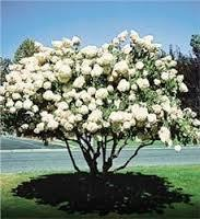 Flowering White Crabapple Tree will make Blooms this spring! WOW!