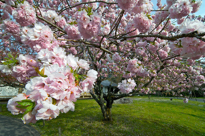 Yoshino Cherry Tree 4 Ft  will make blooms this spring! WOW!