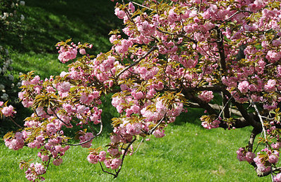 Kwanzi Cherry Tree 4 Ft  will make blooms this spring! WOW!