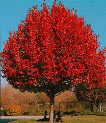 Autumn Blaze Maple Tree 4 Ft will make blooms this spring! WOW! Click Picture for More pricing and Size Options